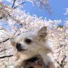 大宮公園の桜は満開★花見が自粛だから夫婦で行ってきた。